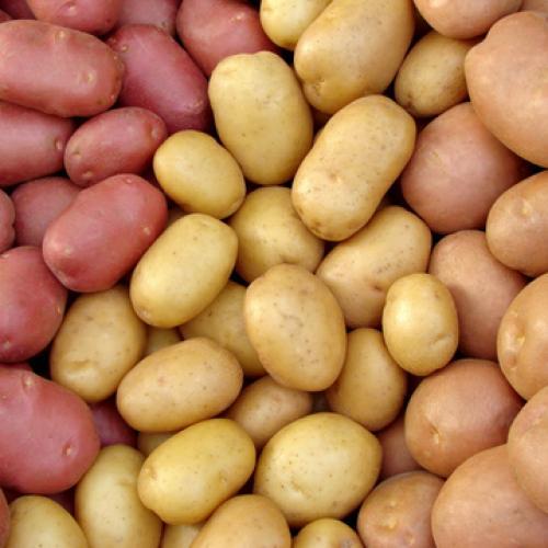 Outdoor Plants Seed Potato