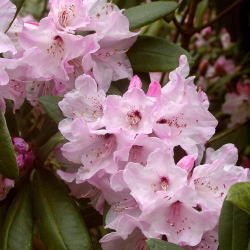 Outdoor Plants Rhododendrons & Azaleas