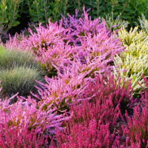 Outdoor Plants Heathers