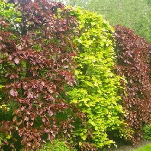 Outdoor Plants Hedging Plants