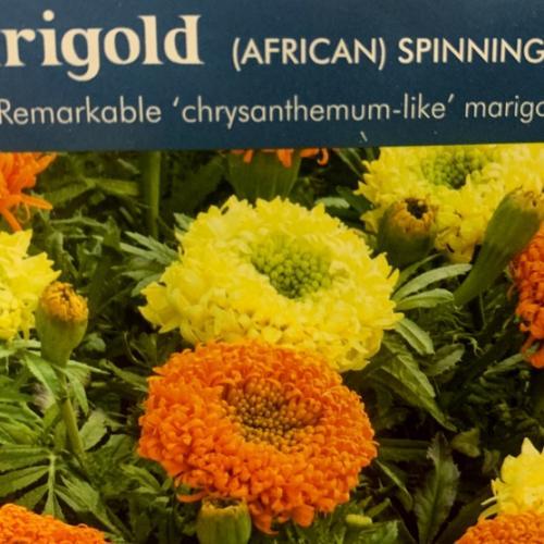 MARIGOLD (African) Spinning Wheels