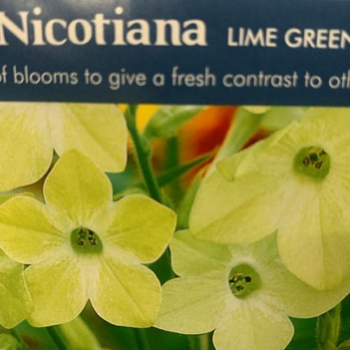 NICOTIANA Lime Green
