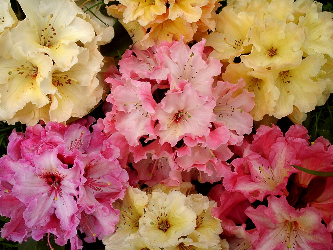400 varieties of Rhododendron Species and Hybrids, from tiny dwarfs to giant trees.
