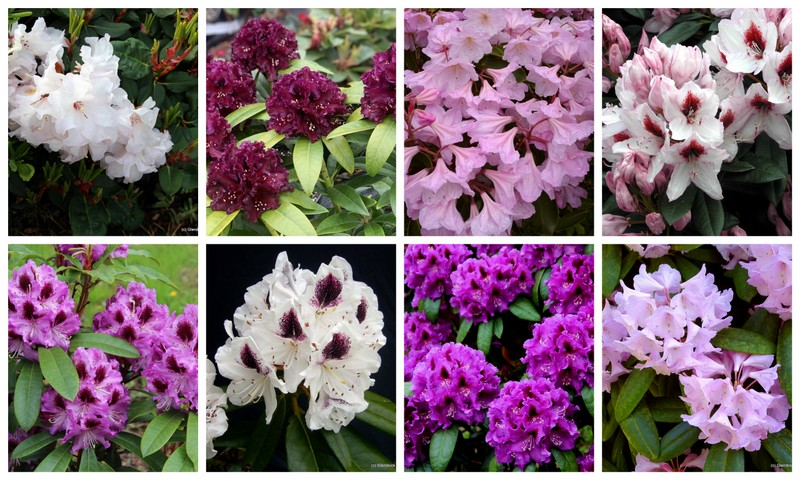 COLLECTION RHODODENDRON PURPLE, PINK AND WHITE (10)