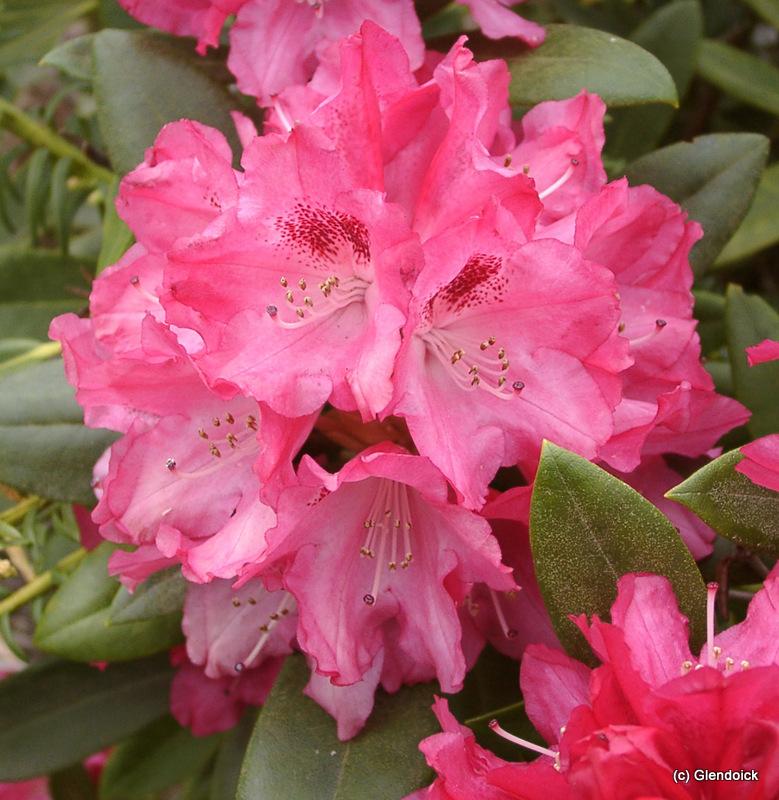 YAKUSHIMANUM HYBRID pink