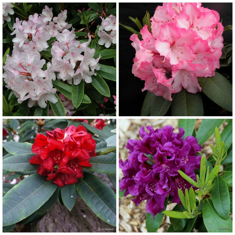 COLLECTION RHODODENDRON HYBRIDS 30- 3 Each of 10 vars