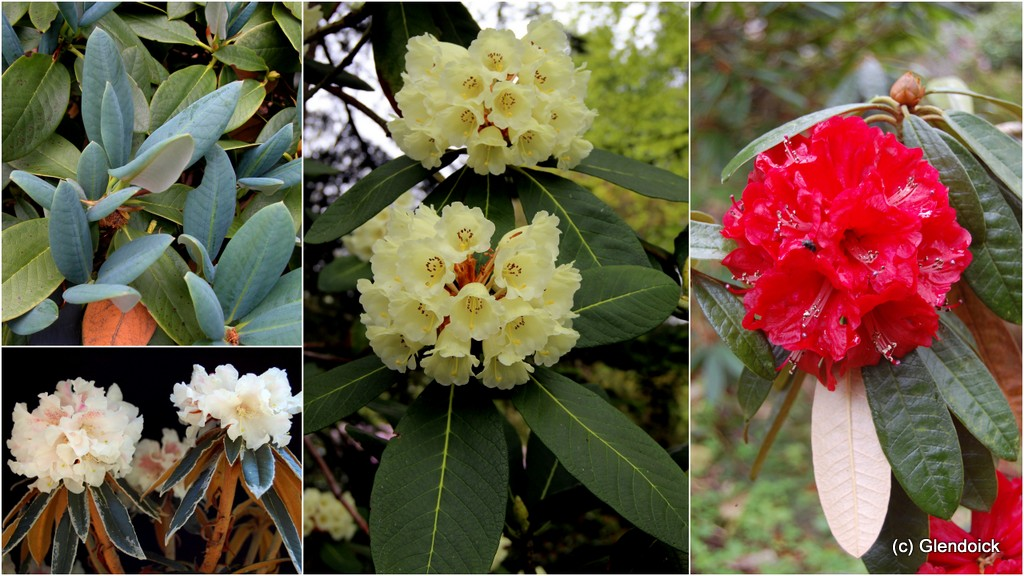 COLLECTION RHODODENDRON SPECIES (20) Ken Cox selection