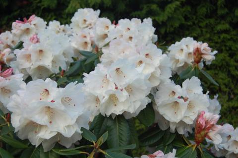 GLENDOICK IVORY 2002/2A (fortunei x macabeanum cream)