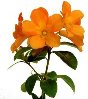 GLENDOICK PAPAYA (acrophilum x javanicum)