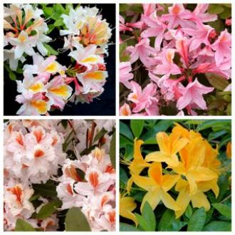 COLLECTION DECIDUOUS AZALEA SCENTED (20) collection SAVE 30%