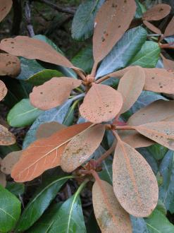 FALCONERI ssp. EXIMIUM KCSH 0350