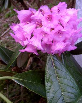 KESANGIAE (purple-pink)