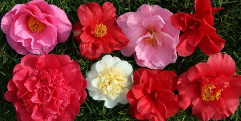 COLLECTION CAMELLIA 10 plants (2 each of 5 varieties)