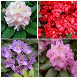 COLLECTION RHODODENDRON Larger Growing 3 Each of 10 vars