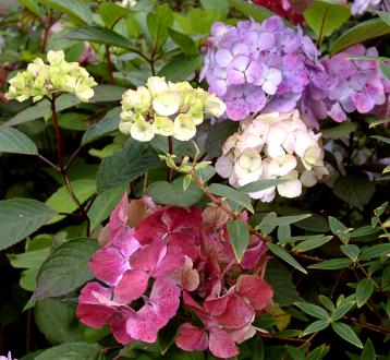 COLLECTION HYDRANGEA (10)
