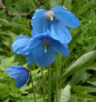 MECONOPSIS Mophead (Fertile Blue Group)