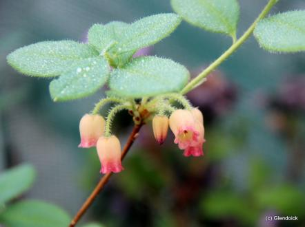 MENZIESIA SPRING MORN (Rhododendron multiflorum)